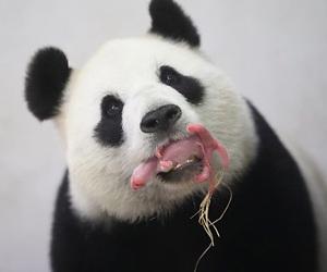 /imag/_v0/1280x852/5/b/7/galeria-panda-efe-2.jpg - 300x250