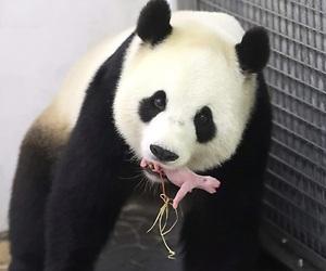 /imag/_v0/1280x852/8/c/7/galeria-panda-efe-5.jpg - 300x250