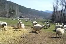 Aragón aumentará en 2 millones la ayuda a la ganadería extensiva