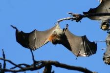 Una localidad de Australia, tomada por murciélagos