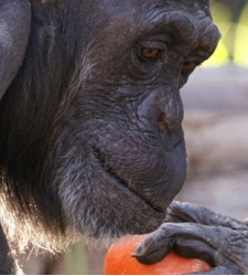 ESTUDIO EN SUECIA: Los cuervos se equiparan en intelecto a los chimpanc�s