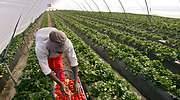 Llamamiento a los parados: el campo necesita 100.000 trabajadores para garantizar el abastecimiento alimentario