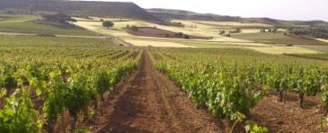 Bodegas Torres compra viñas en Ribera del Duero para elaborar un vino icono