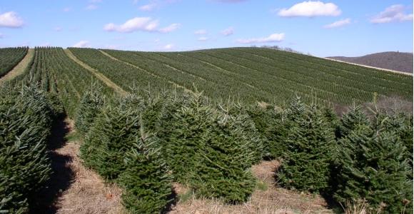 eeaf26b68dc Los ingenieros de montes inician su venta de árboles navideños que son