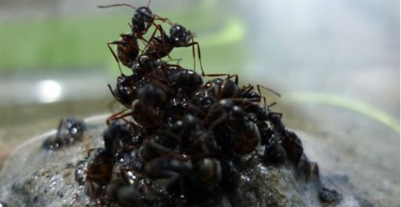 hormigas-balsa.jpg