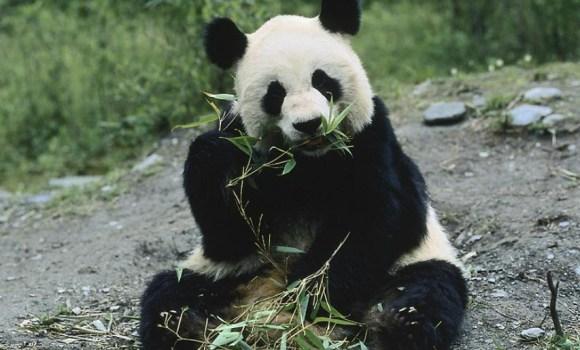 Panda-bambu.jpg