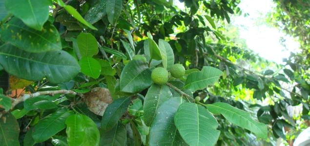 Brosimum alicastrum árbol Ramón Reuters 635 300.jpg