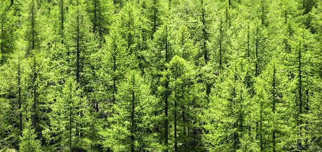 M xico cuenta con la mayor diversidad de pinos del mundo for Tipos de pinos para jardin fotos