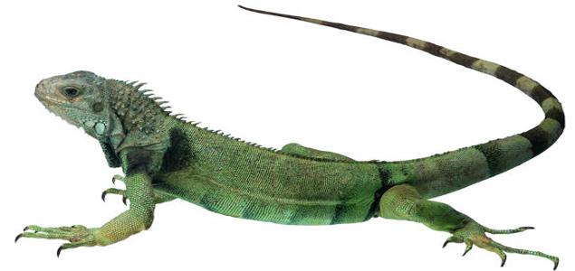 Trfico de reptiles en Colombia va a parar en regin Andina