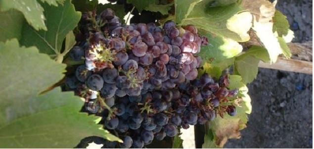 uvas-vino_635.jpg