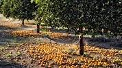 naranjos-suelo.jpg
