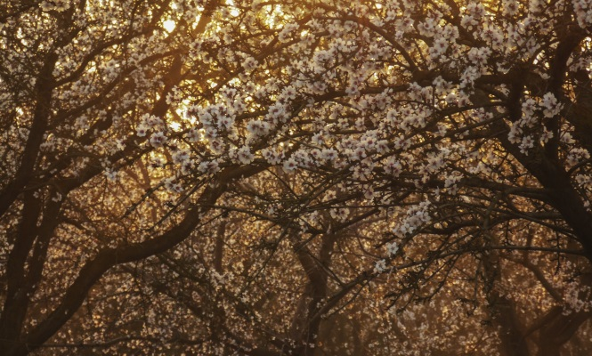 almendros-flor.jpg