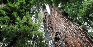 Desarrollan una tecnología para hacer que los árboles produzcan electricidad