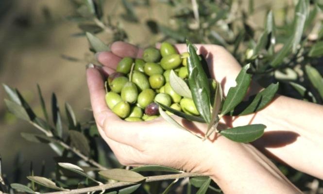 olivas-Italia.jpg