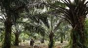 Todo lleva aceite de palma: cada humano consume ocho kilos de media al año sin saberlo