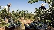 valdepenas-vino-recogen-uvas.jpg