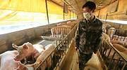 gripe-porcina-G4.jpg