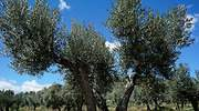 olivooliete