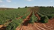 La DO del vino de Valdepeñas, a punto de estallar por el fraude del etiquetado