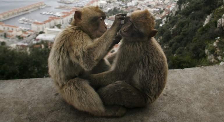 Los monos de Gibraltar reducen su c�rculo de amigos cuando envejecen como los humanos