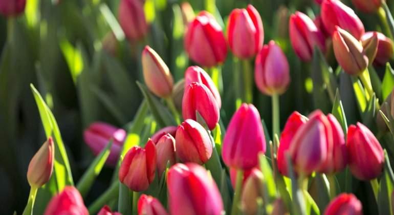tulipanes-770.jpg