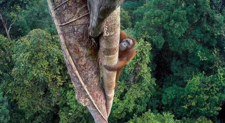 orangutan-premio-fotografia-tim-laman.jpg