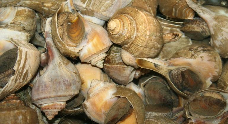 conchas-caracolas-wikipedia.jpg