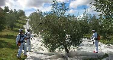 Los precios en el campo se desploman: a los olivareros españoles no les salen las cuentas