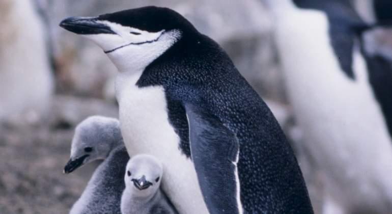 pinguinos-commons.jpg