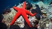 Una-estrella-de-mar-de-color-rojo-iStock.jpg