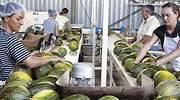 campaa-melon