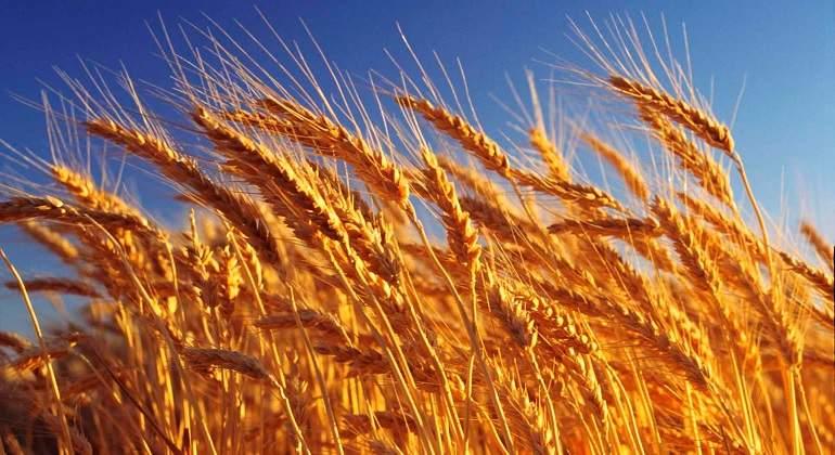 La cosecha de trigo cayó un 37% en la Bolsa de Cereales de Bahía Blanca