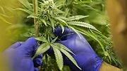 marihuana-770x420.jpg