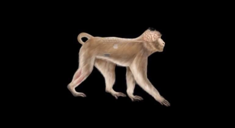 monos-medula-espinal-epfl.jpg
