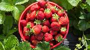 fresas-cultivo-770-istock.jpg