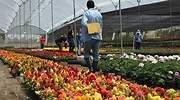 Pese a restricciones aéreas, floricultores colombianos se encomiendan a San Valentín