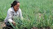 cultivo cebolla