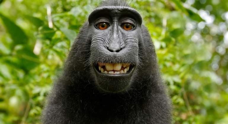 El mono más famoso no puede acogerse al copyright por su selfie