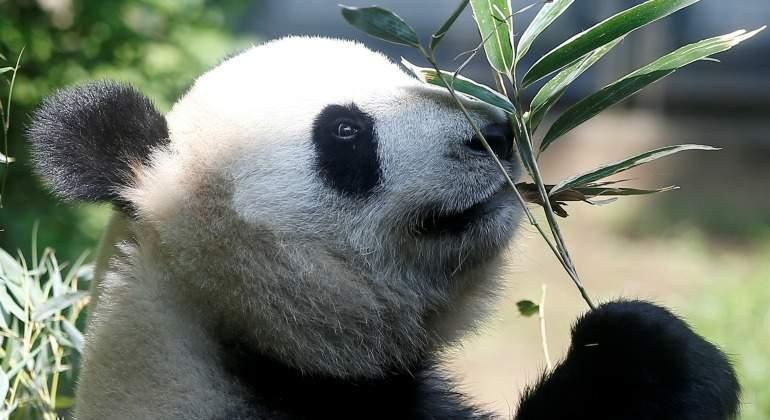 shin-shin-oso-panda-770-reuters.jpg