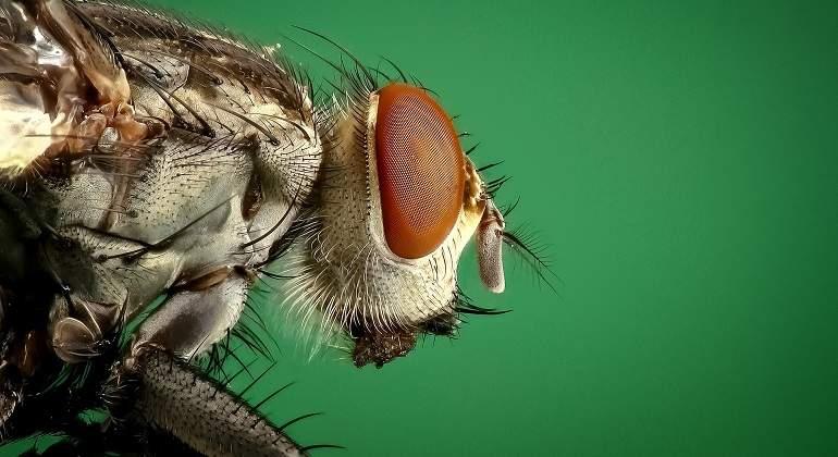 Así puedes saber si la mosca que te molesta es macho o hembra ...