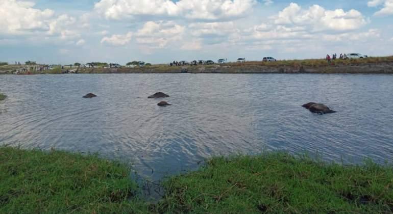 bufalos-ahogados-rio-botsuana.jpg