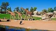 Las-jirafas-recorriendo-la-sabana-africana-Bioparc-Valencia.jpg