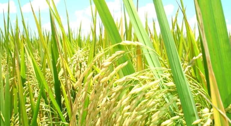 cultivo-arroz