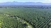 palm-oil-indonesia.jpg