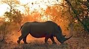 Un-rinoceronte-caminando-por-comida-iStock.jpg