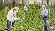 cultivos khiron