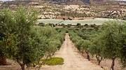 olivos-campos-espana.jpg