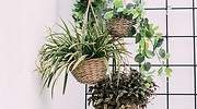 Diferentes-plantas-colgantes-de-interior-iStock.jpg