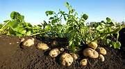 Patatas-en-campo-2-770.jpg