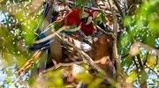 guacamayos-rojos-silvestres-EFE.jpg